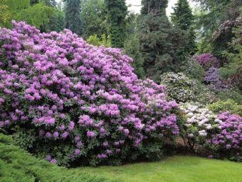 Różaneczniki w ogrodzie – wymagania i uprawa rododendronów
