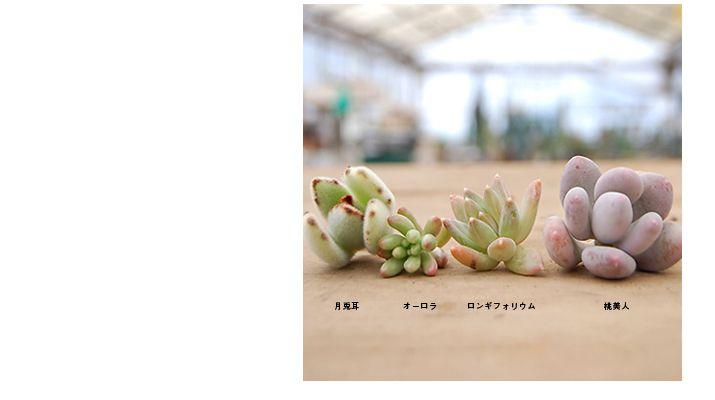 多肉植物/サボテン専門ストア solxsol - 今回の特集は多肉植物の魅力のひとつ『葉挿し』です!お持ちの多肉植物を殖やしてみましょう!