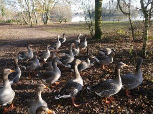 Heart of England Way day 3: Geese in Kingsbury Water Park