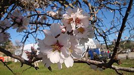 Sakura (cerezo)