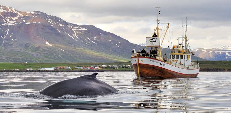 Whale Watching and Sea Angling in Iceland
