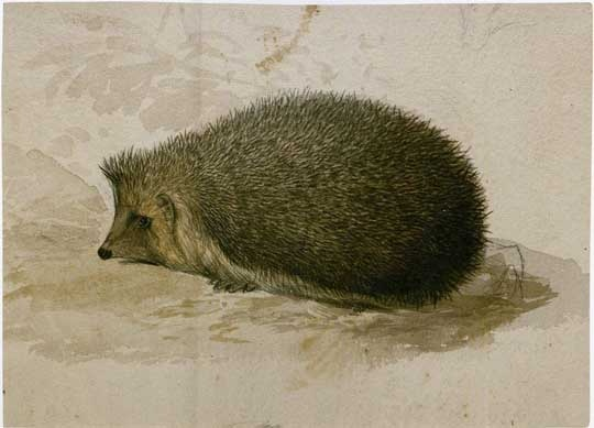 Watercolor by Edward Lear (The Owl and the Pussycat) of a hedgehog