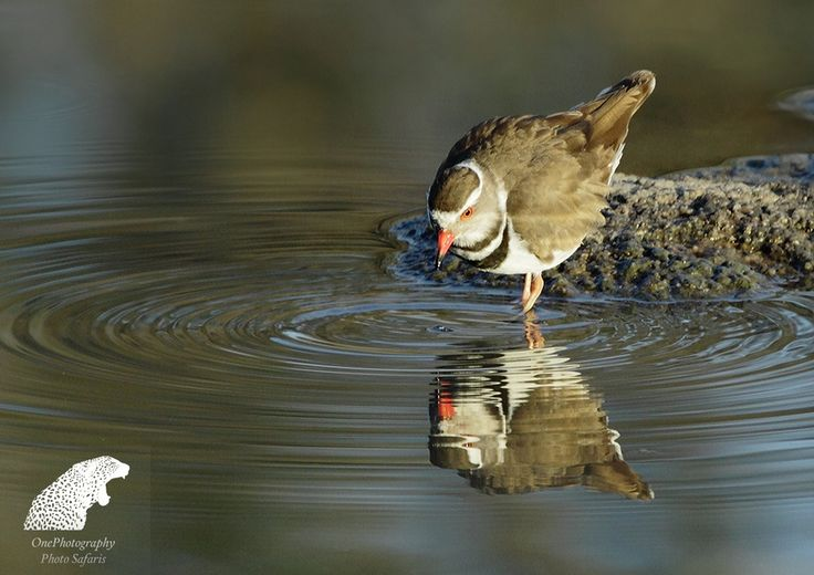 Three Banded Plover by Onephotography Photographic Safaris on 500px