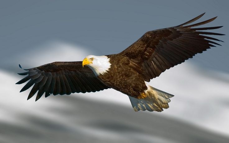 The 25 best Eagle wallpaper ideas on Pinterest Pictures of bald