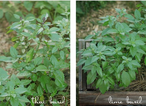 How to store basil, both in the short term and long term.