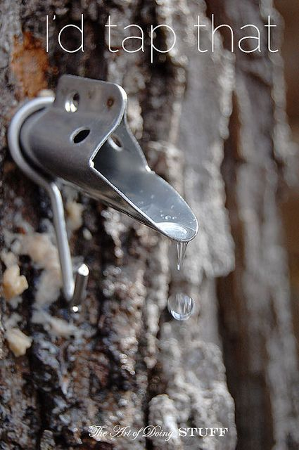 Have a Maple Tree?  How to Tap a Maple Tree for Making Syrup  The Art of Doing Stuff