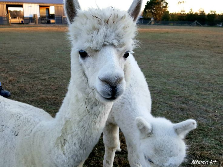 alpaca faces   farms of Delmarva (Caroline County, MD)   Furry and woolly alpacas, taken November '16 in Preston, Maryland.