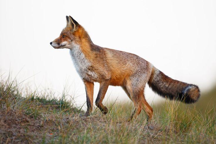 fox-symbolism-fox-spirit-animal