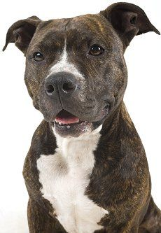 American Pit Bull Terriers: What's Good and Bad About Pit Bulls