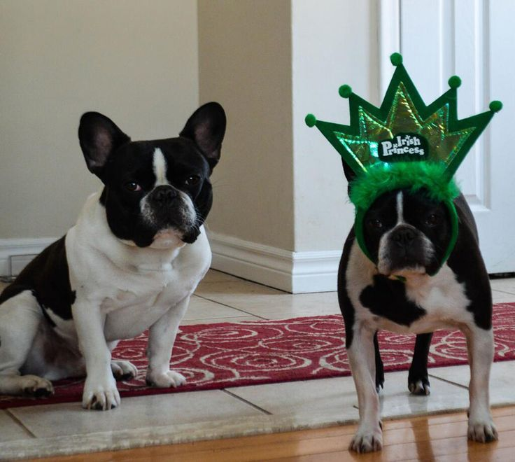 boston terrier dating site The boston terrier is a breed of dog originating in the united states this american gentleman was accepted in 1893 by the american kennel club as a non-sporting breed.