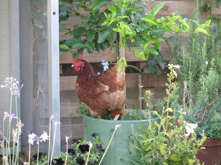 Naughty chicken!