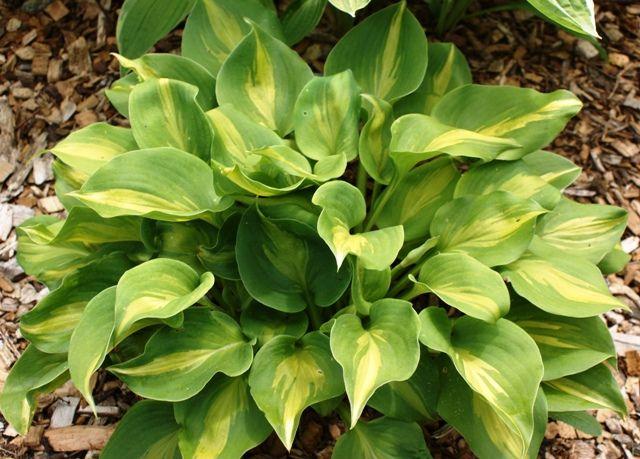 Shade Perennial Sun Tolerant Hosta Plant Fondos De Pantalla