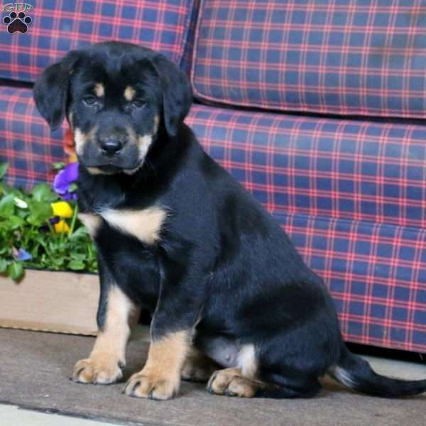 Mya Rottweiler Mix Puppy For Sale In Pennsylvania Rottweiler