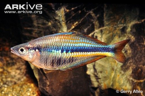 Real rainbow fish 25chilatherinaallenirainbowfishgr real rainbow fish 25chilatherinaallenirainbowfishgrallen347209 pets pinterest rainbow fish fish and aquariums fandeluxe Gallery