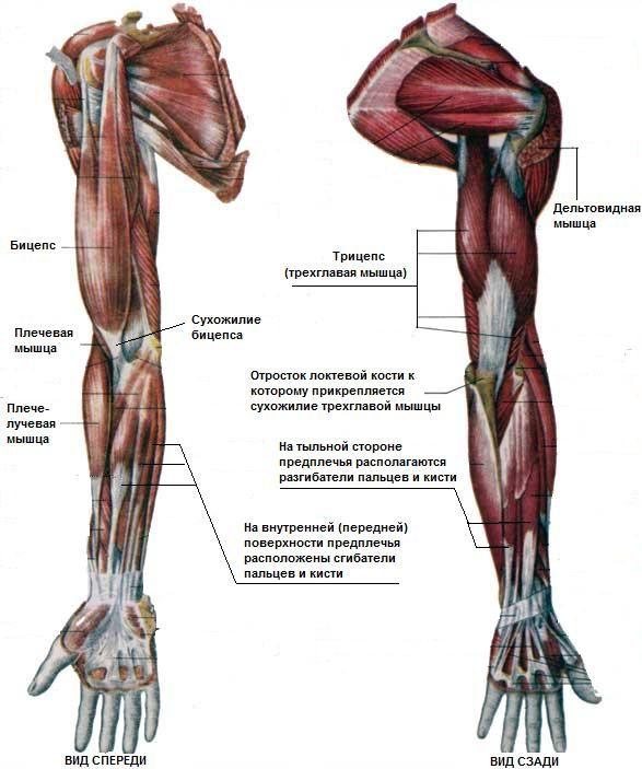 Анатомия рук человека фото