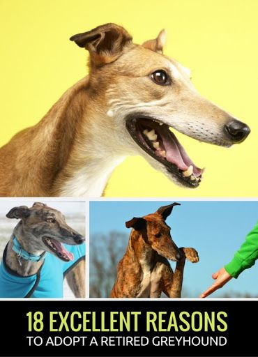 18 Awesome Reasons to Adopt a Greyhound