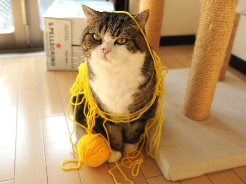 """まるにどうしても毛糸玉をプレゼントしたいという人がいたのですが  まるがまったく興味を示さないということで――  A certain person said, """"I want to give Maru a woolen yarn ball"""".   However, unfortunately Maru was not totally interested in it.  Therefore, this is the production of a cat which played and twined with woolen yarn."""