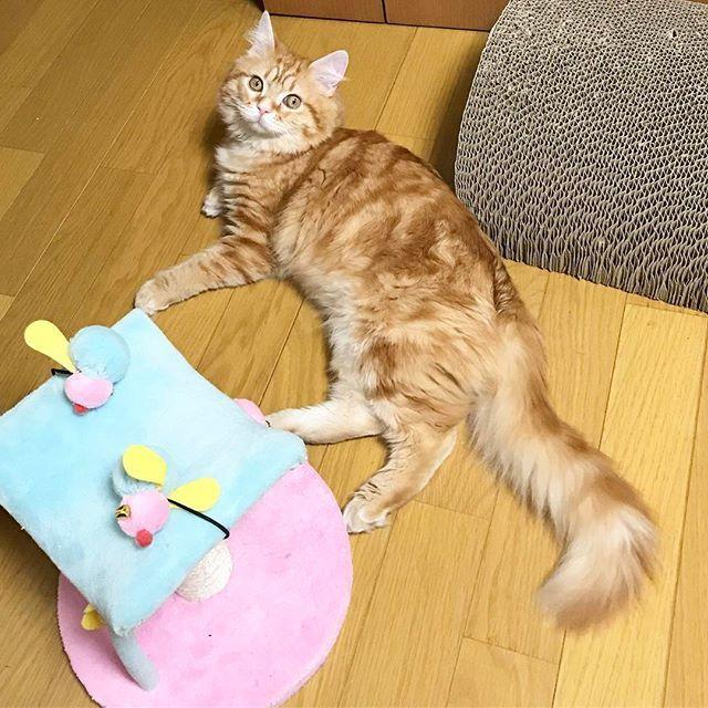 『おかあさんの背中にお手製タトゥーいれたけど、にゃに🐱❔』 ・ 構って欲しかったのか、ガリーって背中に見事なにゃんこタトゥーを入れられました😱痛すぎて叫んでしまった… 旦那さんのお腹にも入ってます…🤕 #cat #ねこ#ネコ #猫 #子猫 #愛猫 #고양이 #にゃんこ #kitty #ねこのきもち #足長マンチカン #マンチカン部 #マンチカン #レッドタビー  #みんねこ #エールパワー #ペコねこ部 #ねこ部  #にゃんすたぐらむ #munchkin #長毛 #猫部 #猫好き #nyaspaper #猫のいる暮らし #猫との生活 #幸せな生活