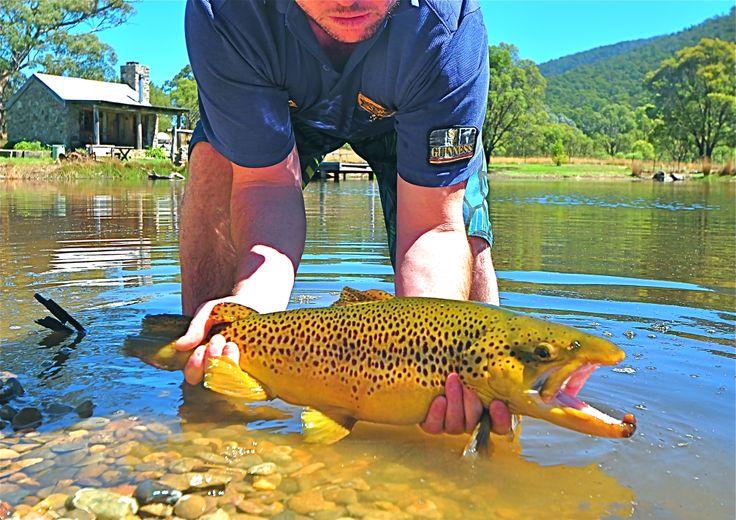 Male brown trout at Moonbah Lake Hut, near Jindabyne, NSW Snowy Mountains, Australia