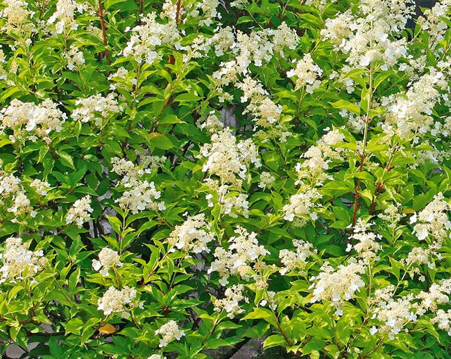 Топ 10: гортензия метельчатая | Мир растений и деревьев | Журнал «Дом и сад»