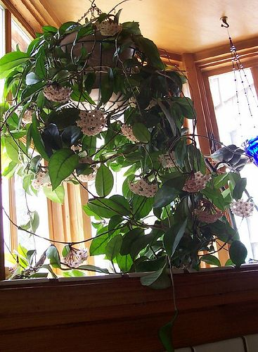 Hoya-all time favorite house plant! A Wax plant (Hoya carnosa) such a beautiful bloomer.