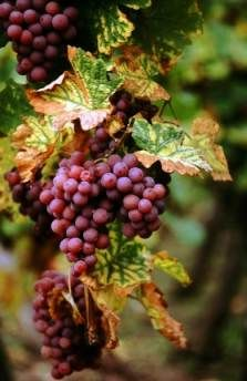 Fact: 2 million acres of vineyards in France, producing around 8 billion bottles every year.