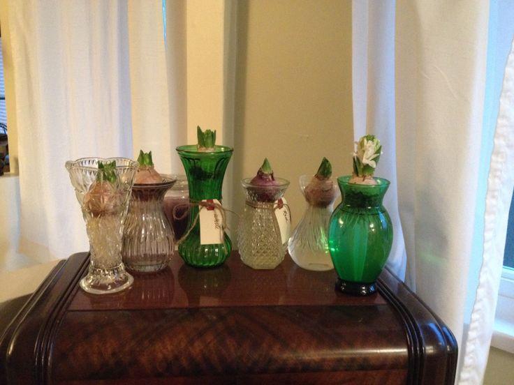 Forced Hyacinth bulbs.