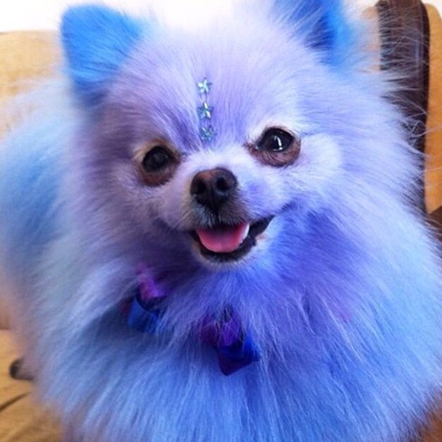 how to clean pomeranian eyes