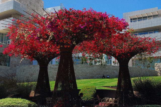 bougainvillea tree | Rebar Bougainvillea Trees - Getty | Flickr - Photo Sharing!