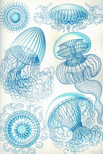 Jelly Fish. High quality vintage art reproduction by Buyenlarge. One of many rare and wonderful images brought forward in time. I hope they bring you pleasure each and every time you look at them.