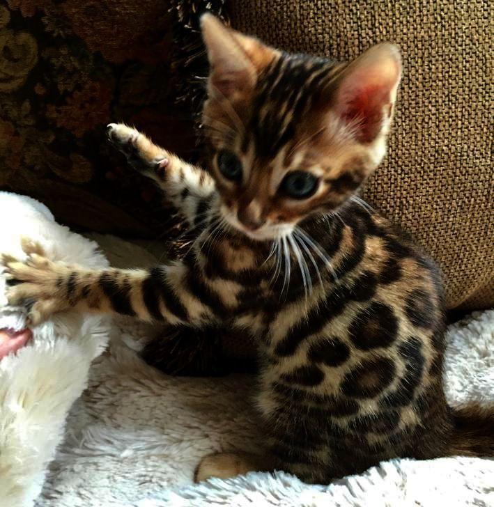 Dreaming Of A White Christmas Bengal Kitten Newborn Kittens