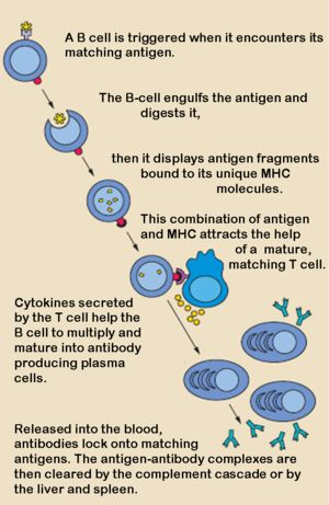 B-cells