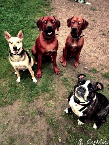 Buddy, Bruk, Jacko & Nala  #bulldogge #rhodesianridgeback #germanshepard