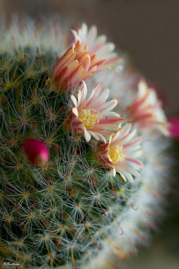 Bod Kum :   kwitnący kaktus