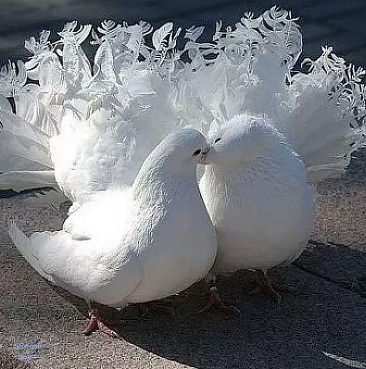 приносит свадебные птицы картинки тем