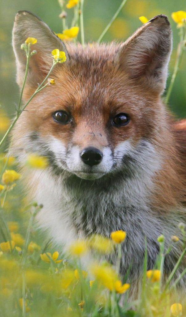 omg so cute - fox ♥