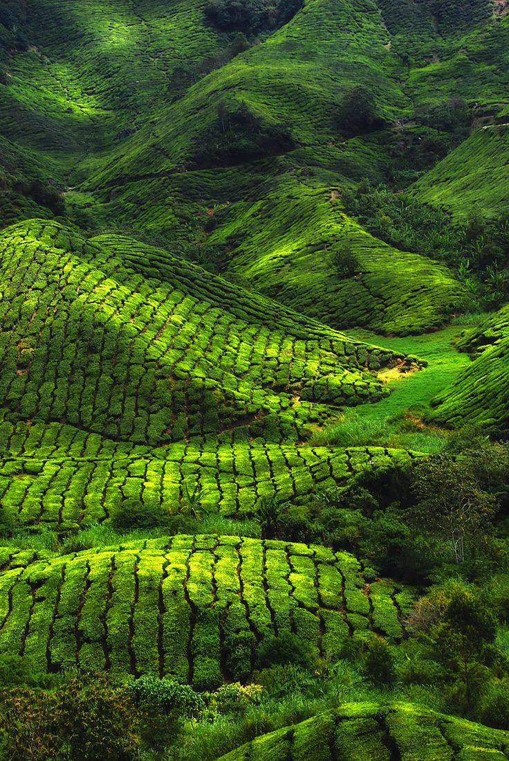 Green: Tea plantation in Munnar, India.