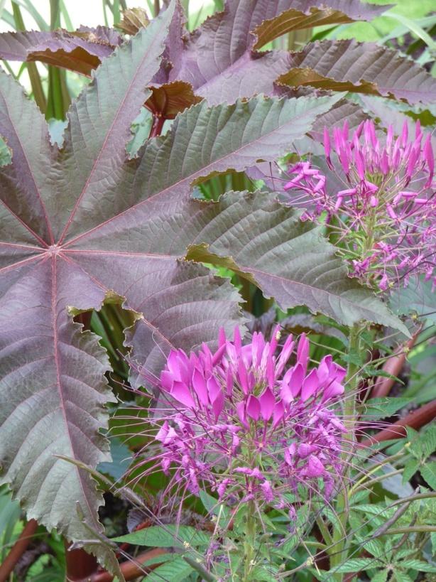 Cl ome violet pourpre et grand ricin pourpre grande for Jardin 5 juillet biskra