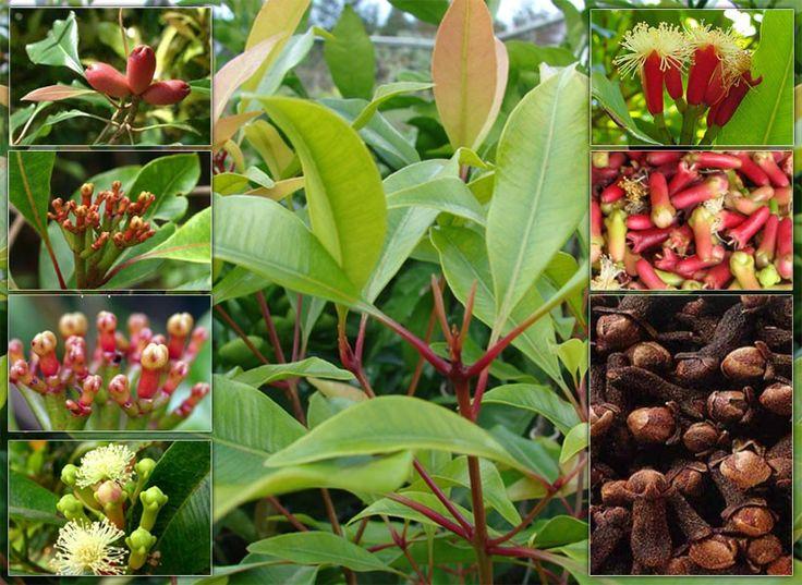 El Poder Medicinal de las Plantas: El Clavo De Olor Como Medicina Alternativa Para El Beneficio Del Cuerpo.