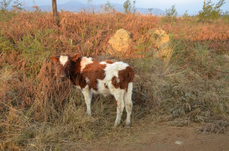 Fluffy calf along the road in Swaziland. By Rosemary Hall