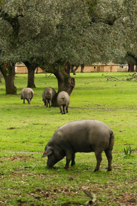 Iberian pata negra pigs, the ones used for Iberica Jamones de Bellota, foraging for bellotas (acorns) near Montanchez (Caceres). Photo by Gerry Dawes