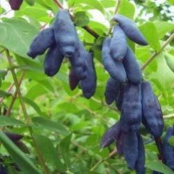 Nyhet! Lonicera caerulea var. kamtjatica 'Silginka' Växt: Höjd: 1,5 m, bredd: 1,2 m. Oval växtform. För bästa skörd plantera flera olika sorter. Mycket vinterhärdig (-45C)  Bär: Blåa stora ätliga bär. Bra både för machinell skörd och för att skörda för hand. Bären är spolformad och skarpt spetsiga, med måttligt tjock skinn. Köttet är saftigt och sött med aromatisk smak; väldigt transporttåliga.