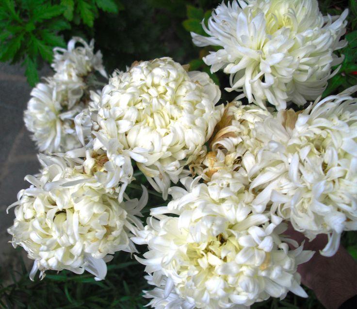 Crisântemos Brancos (arbusto de flores) | Preço por unidade: 0,60€ | Referência: F025 | Mais informações em: http://biokafs-agro.weebly.com/flores.html