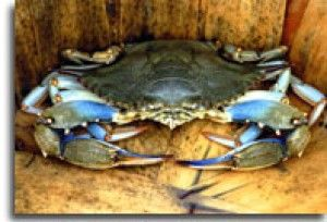 Chesapeake Crab Bushel | Memorial Day prices for a bushel of crabs likely at $160