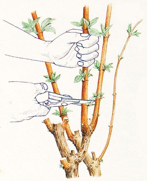 Buddleia Pruning -2