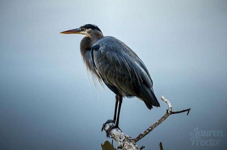 Lauren Proctor Photography   Blue Heron above still waters on Flickr