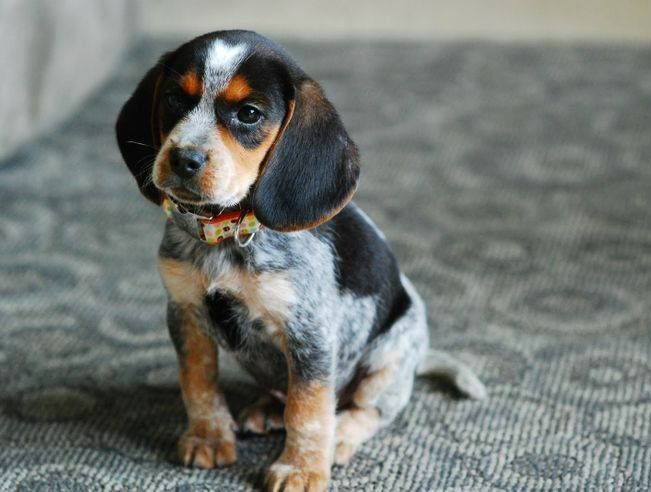 (3) Beagle Pet - Beautiful blue tick Beagle :)