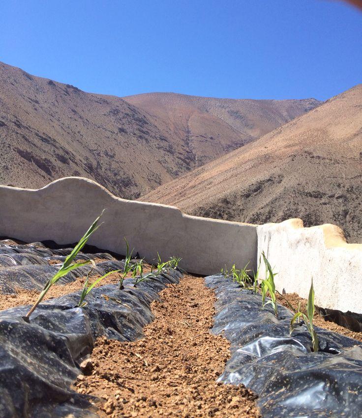 Maíz Peruano Orgánico Morado para hacer Chicha ! Lo mejor para tomar con hielo ,en el verano Elquimista ...