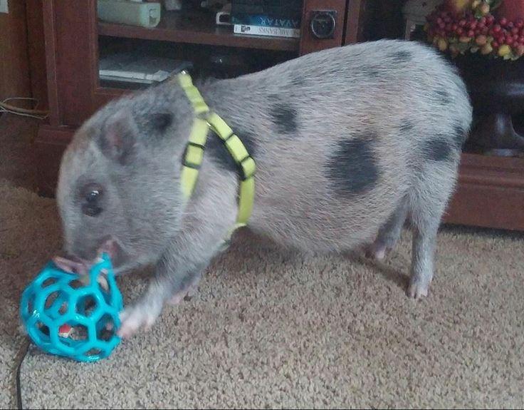 Best 25 Pot Belly Pigs Ideas On Pinterest Mini Potbelly