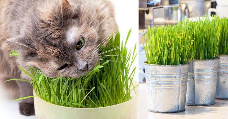 gambar cat grass    Tanaman Hias Benih Rumput Kucing